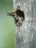 Yellow-Shafted Northern Flicker Peering Out of a Nest Cavity in the Trunk of a Palm Tree