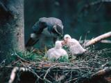 Adult Goshawk Feeding its Chicks