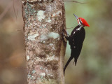 Pileated Woodpecker Perched on Side of Tree