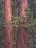 Detail of a White Fir and Giant Sequoia in the Forest