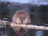 Beaver Feeds on Fallen Aspen
