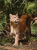 Mountain Lion Walks Through Leaves