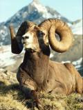 Bighorn Sheep Ram Sits on Grass
