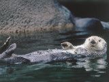 Sea Otter Pup Floats on its Back