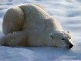 Polar Bear Relaxing on Ice  Canada