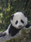 China  Sichuan Province  Wolong  5-Month-Old Panda Cub in the Forest