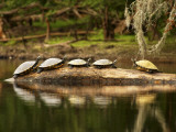 Florida  High Springs  a Group of Suwannee Cooters Share a Log on a Quiet Stretch of the Santa Fe