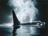 Killer Whale Spouts Mist