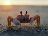 Fiddler Crab Sits on Beach