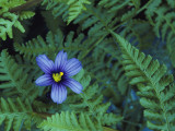 Detail of Blue-Eyed Grass