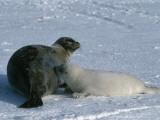 Harp Seal Mother Nurses Pup