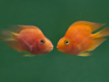 China  Two Gold Fish Facing Each Other