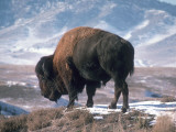 Bison Stands on Snowy Hill