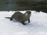River Otter Walks on Snow