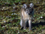 Arctic Fox Cubs Near Den Site