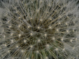 Seeds of a Dandelion
