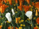 Albino California Poppy
