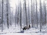 Pair of Red Deer