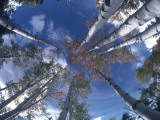 Aspen Trees Touch the Sky