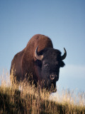 Bison Stands on Hill