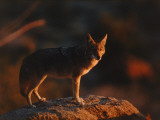 Coyote Stands on Boulder