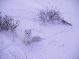 Arctic Fox Sits in the Snow