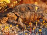 Desert Tortoise Moves Slow