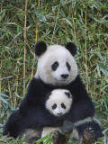 China  Sichuan Province  Wolong  Giant Panda Mother with 5-Month-Old Cub