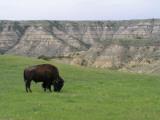 North Dakota  Theodore Roosevelt National Park  a Lone Bison Grazes Near the Skyline Vista