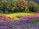 Lupin Flowers