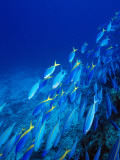 School of Tropical Fish Swimming Above Ocean Floor  Fiji