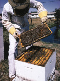 Honeycomb Held by Beekeeper