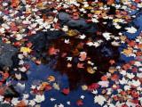 Usa  Maine  Maple Leaves
