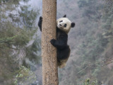 China  Sichuan Province  Wolong  Giant Panda Climb on Tree