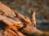 Coyote Stands on Rock Ledge