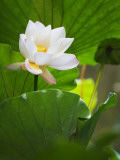 China  Sichuan Province  Lotus Flower in the Pond