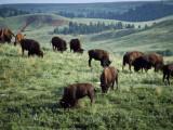 Herd of Bison Grazes in Field