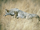 Coyote Hunting in Tall Grass