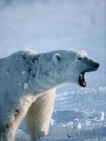 Polar Bear Yawning