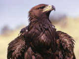 Profile of Golden Eagle
