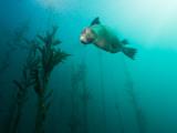 California Sea Lion in Kelp