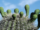 Saguaro Cactus Flower Buds
