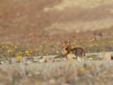 Coyote and Desert Sunflowers
