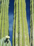Cardon Cactus in Flower