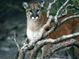 Puma in Sonoran Desert