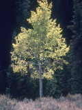 Aspen Tree with Bright Leaves