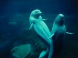 Two Beluga Whales Underwater