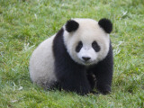 China  Sichuan Province  Wolong  Giant Panda Cub on the Grass