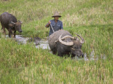 China  Yunnan Province  Farmer Ploughing with Water Buffalo in the Rice Paddy