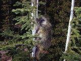 Porcupine Clings to Pine Tree